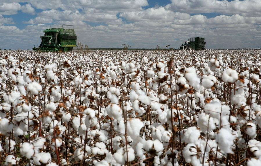 cotton production in the US